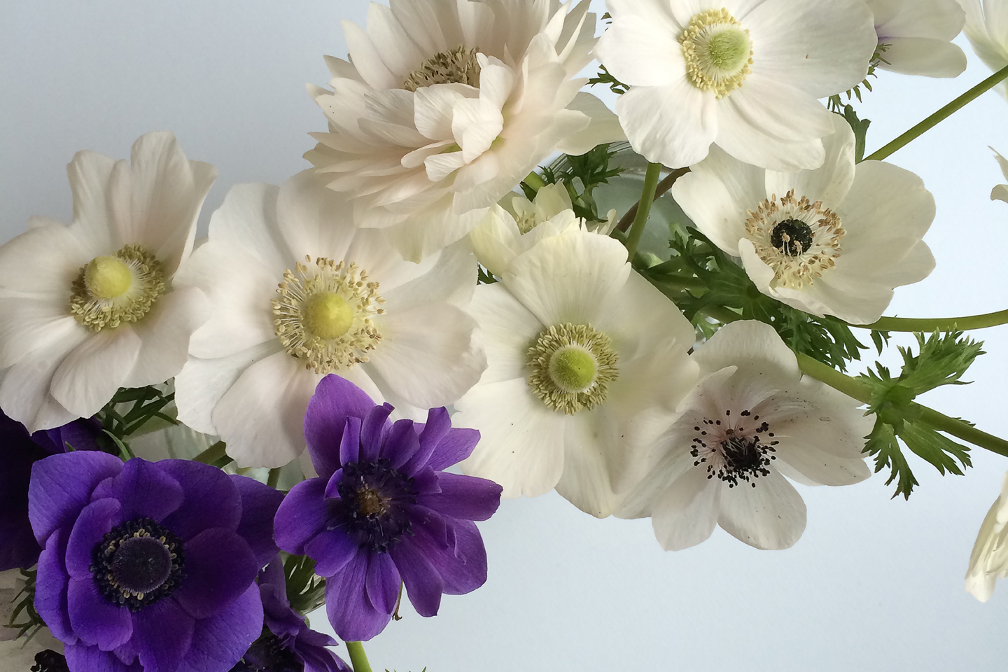 Anemone Season has Arrived
